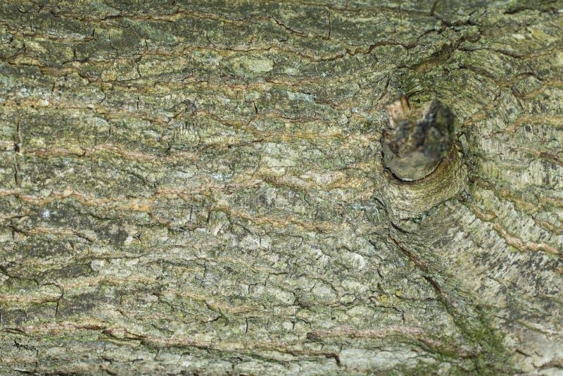 Абстрактные предпосылки: картина дуба с остатком ветви стоковое изображение rf