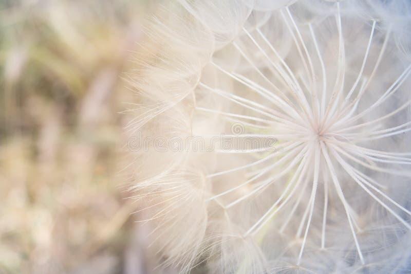 Абстрактный белый цветок одуванчика, крупный план стоковое фото