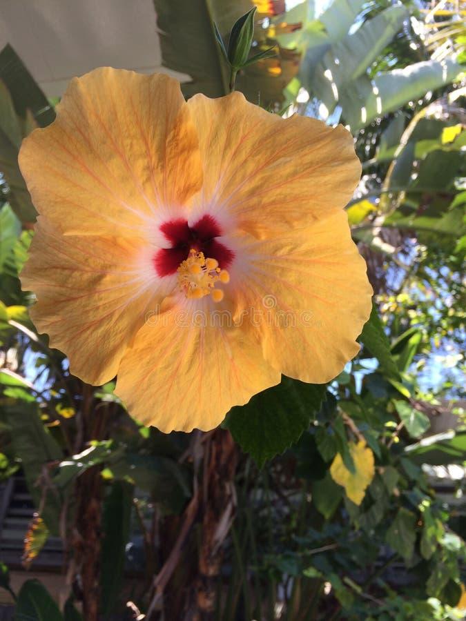 абстрактный вектор иллюстрации hibiscus цветка стоковое фото rf