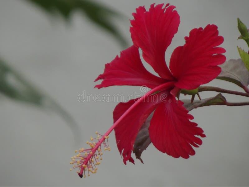 абстрактный вектор иллюстрации hibiscus цветка стоковое фото