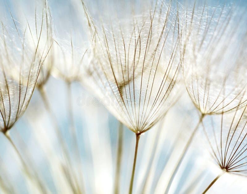 абстрактный цветок одуванчика предпосылки стоковое фото rf