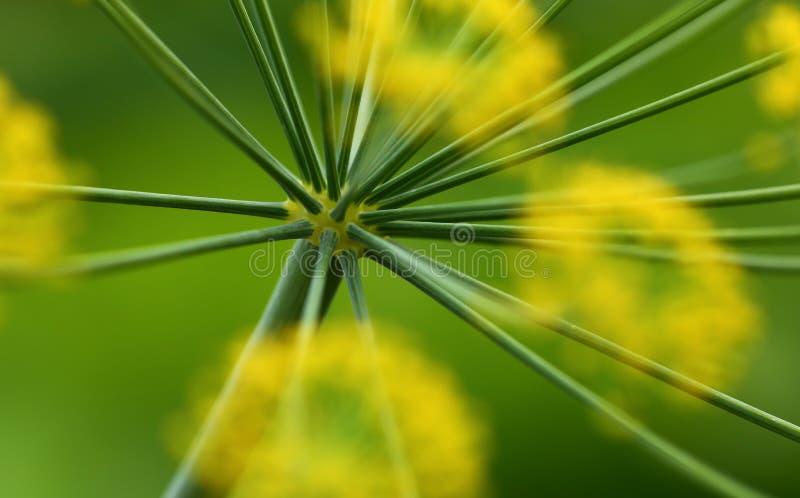 абстрактный цветок поля укропа глубины состава отмелый стоковое изображение rf