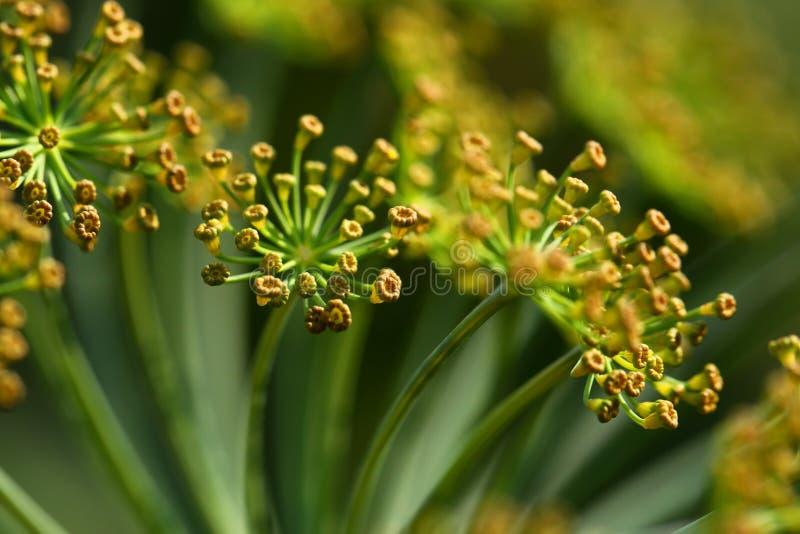 абстрактный цветок поля укропа глубины состава отмелый стоковое фото