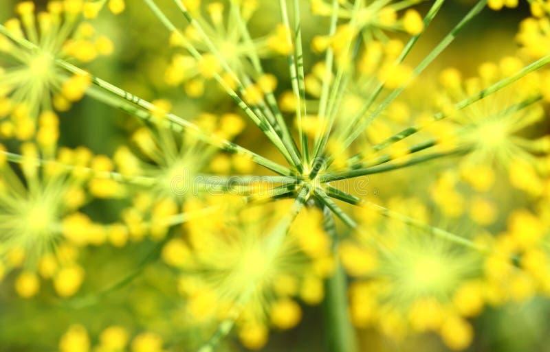 абстрактный цветок поля укропа глубины состава отмелый стоковое фото rf