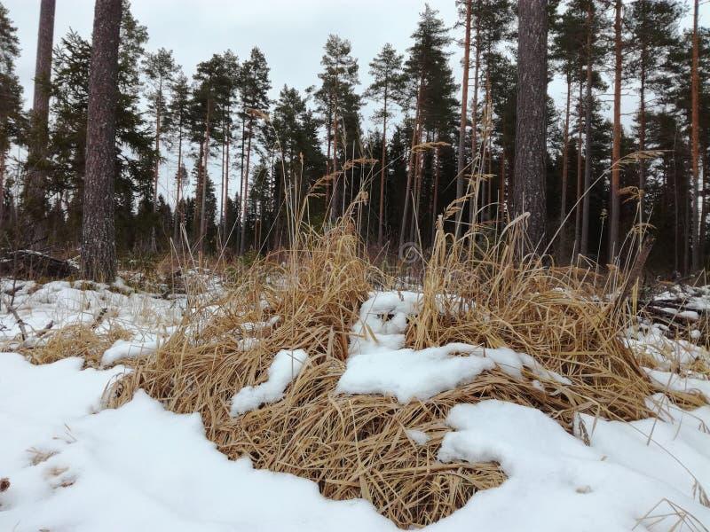 Авария снега елей зимы леса сухая стоковое изображение