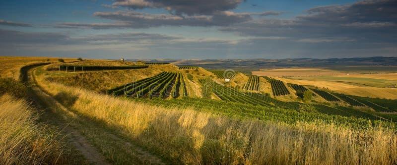 августовские виноградники стоковое фото rf