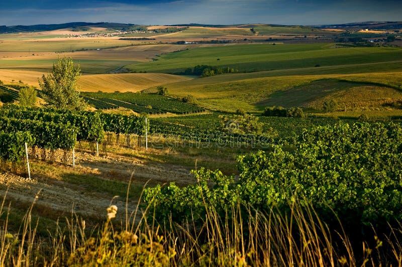 августовские виноградники III стоковое изображение