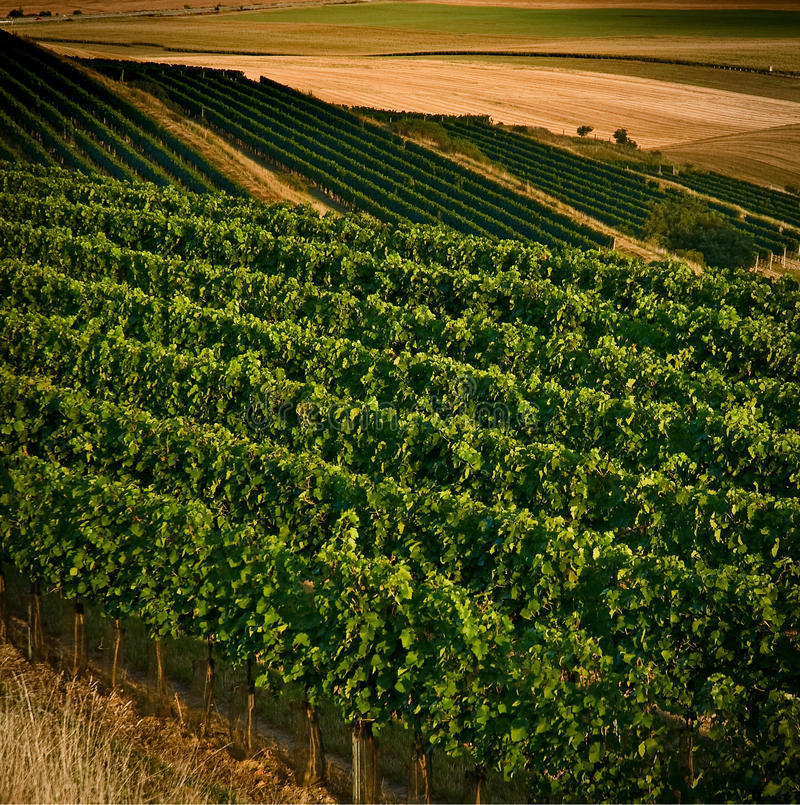 августовские виноградники iv стоковое изображение rf