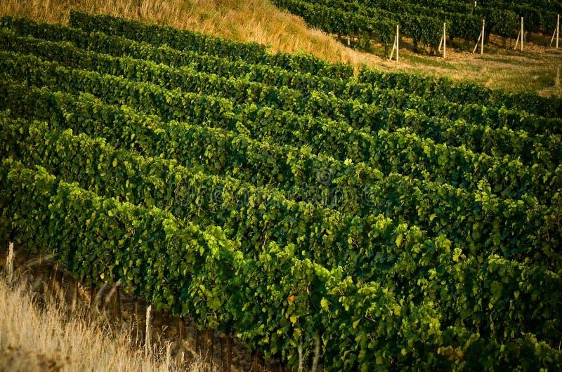 августовские виноградники v стоковая фотография