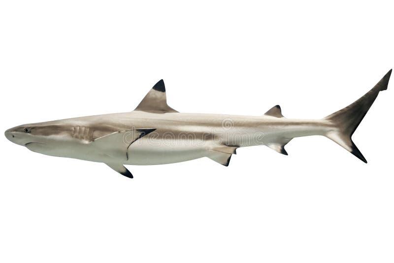 Австралийская акула blacktip стоковые изображения