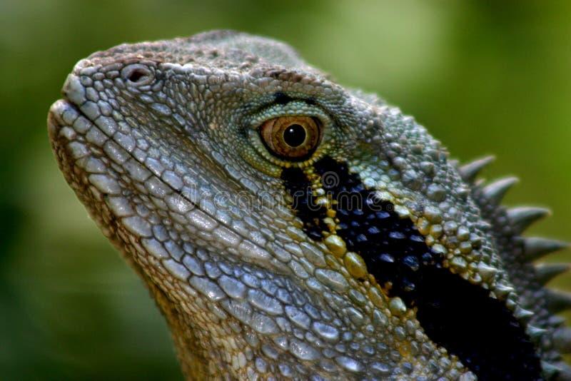 Download австралийская вода дракона стоковое фото. изображение насчитывающей макрос - 86152