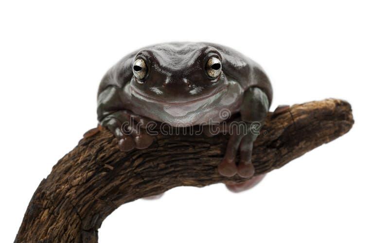 Австралийская зеленая лягушка дерева стоковое фото