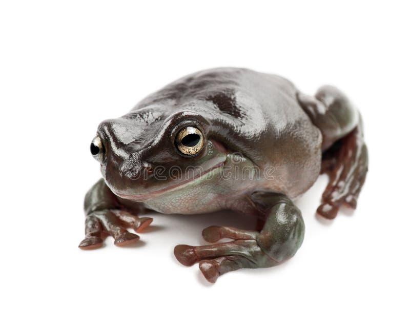 Австралийская зеленая лягушка дерева стоковое изображение