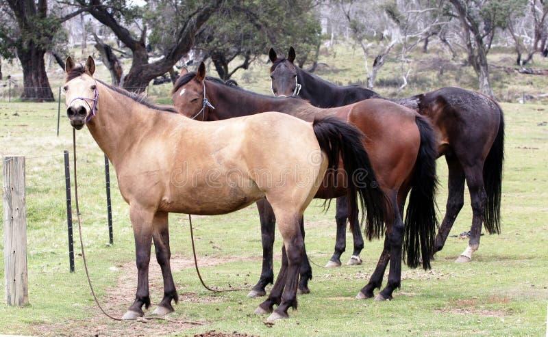 австралийская лошадь стоковые изображения rf