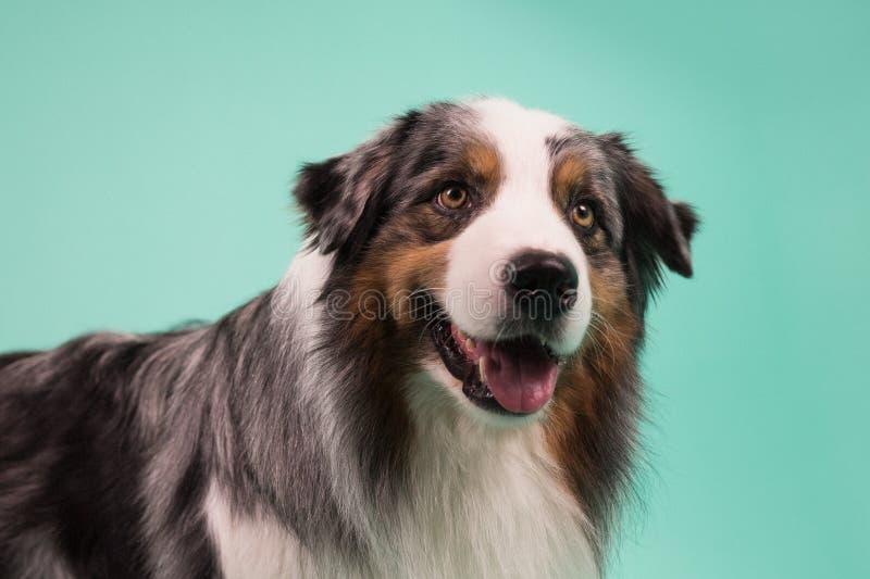 Австралийская собака скотин стоковая фотография