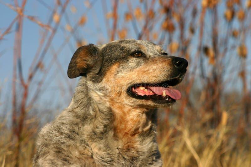 австралийская собака скотин стоковое изображение rf
