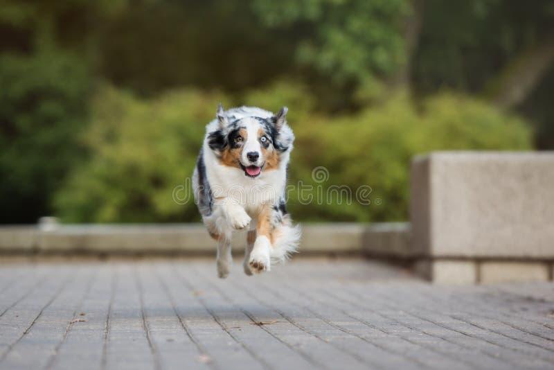 Австралийская собака чабана бежать в парке стоковые фотографии rf