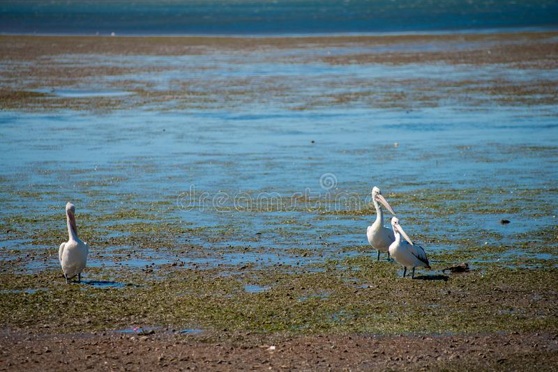 Австралийские пеликаны ища еда на пляже вокруг Брисбена, Австралии Австралия континент расположенный в южной части o стоковое фото rf