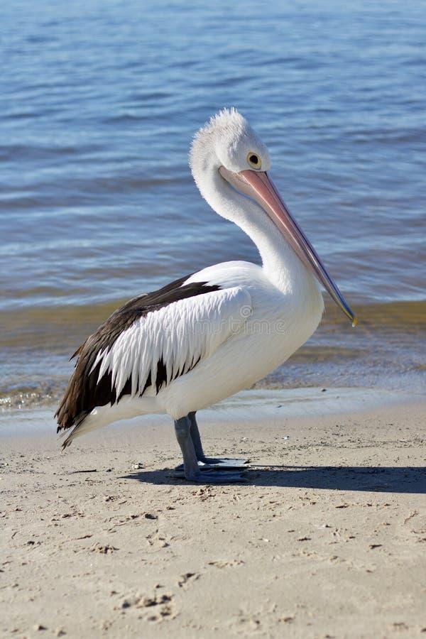 Австралийские пеликан или Pelecanus Conspicillatus стоя на песке с водой складывая нежно за - изображением стоковые фото