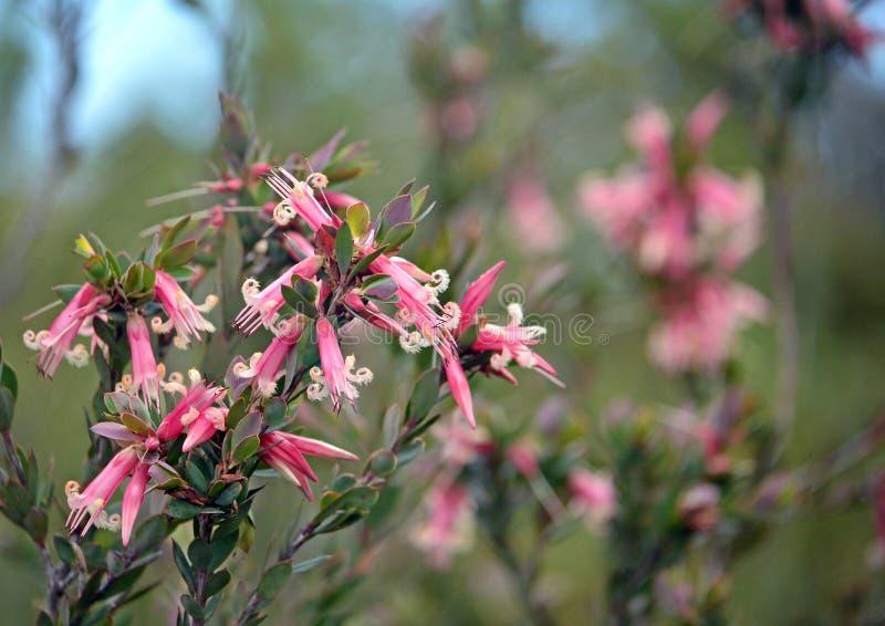 Австралийские родные розовые 5-углы цветут, triflora Styphelia, стоковое изображение rf