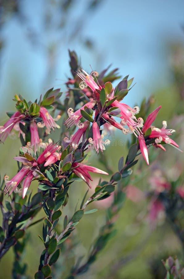 Австралийские родные розовые 5-углы цветут, triflora Styphelia, стоковые изображения