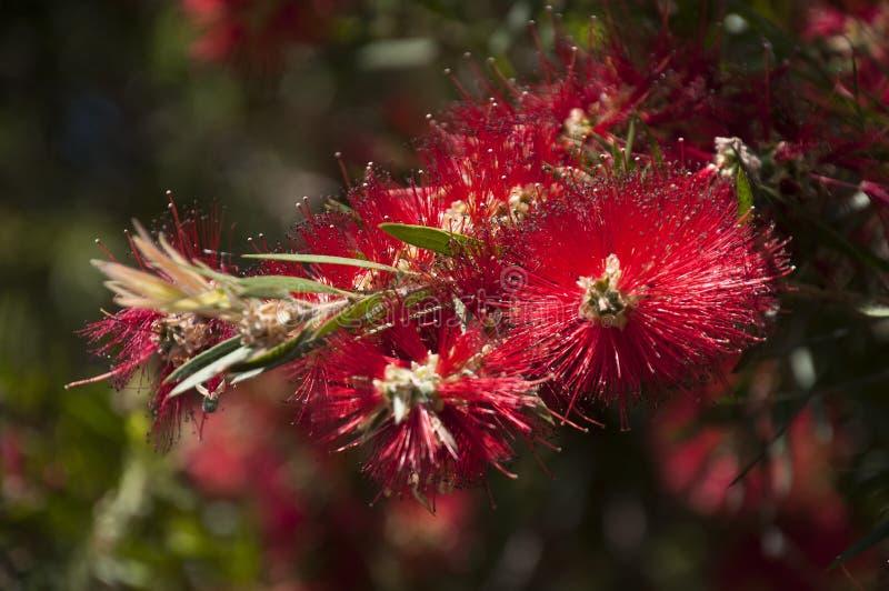 Австралийские родные цветки bottlebrush стоковое изображение rf