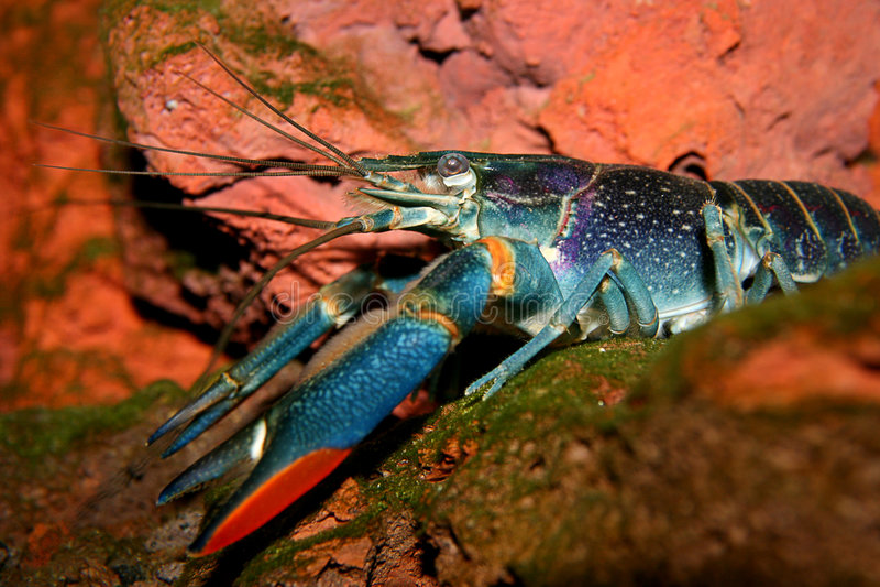 австралийские crayfish пресноводные стоковое фото