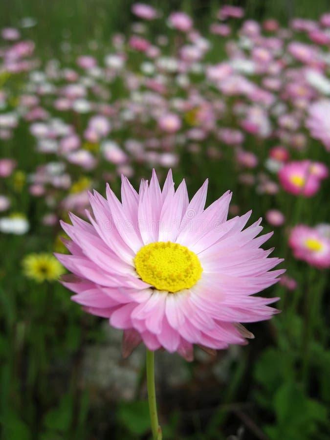 австралийские wildflowers стоковое изображение rf