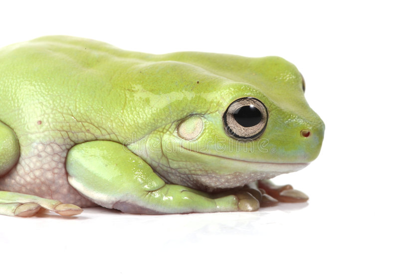 австралийский вал зеленого цвета лягушки стоковое фото