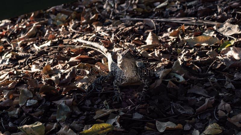 Австралийский дракон воды в маскировке высушенных листьев стоковые фотографии rf