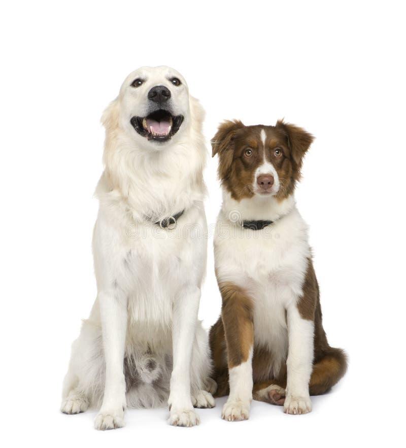 Download австралийский золотистый чабан Retriever щенка Стоковое Фото - изображение насчитывающей чистоплемено, золотисто: 6851870