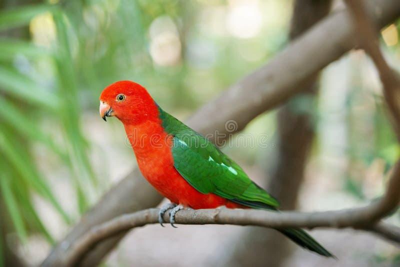 Австралийский король Попугай стоковые изображения