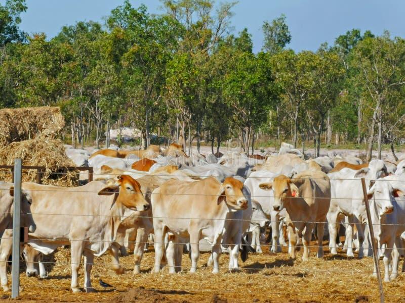 Австралийский мясной скот на скотном дворе в Дарвине стоковые изображения rf