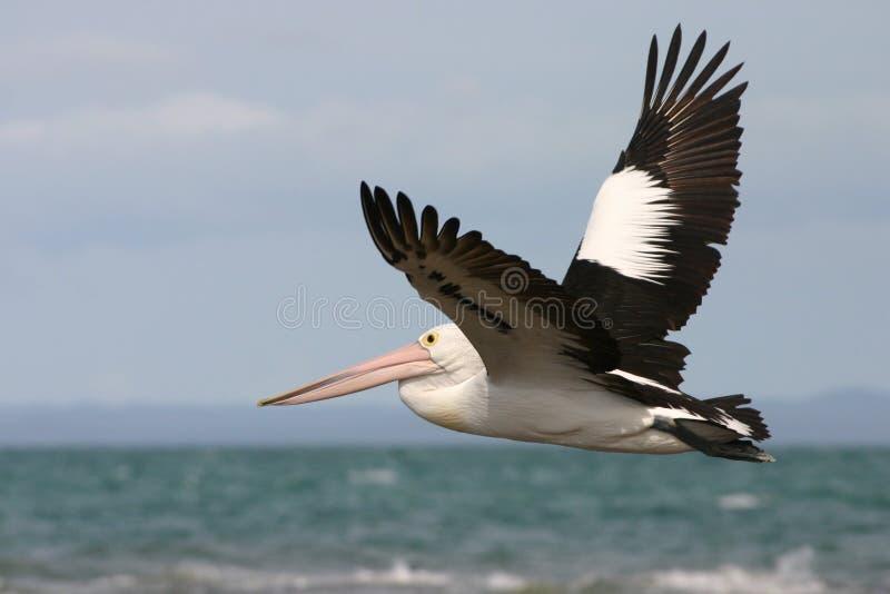 австралийский пеликан летания стоковая фотография