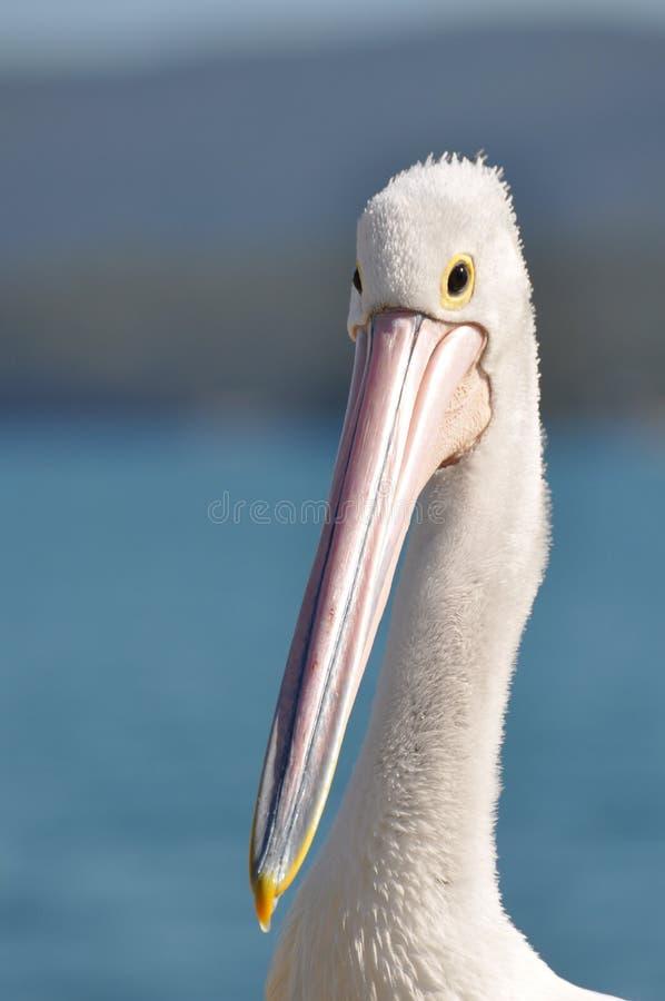 австралийский пеликан стоковое изображение rf