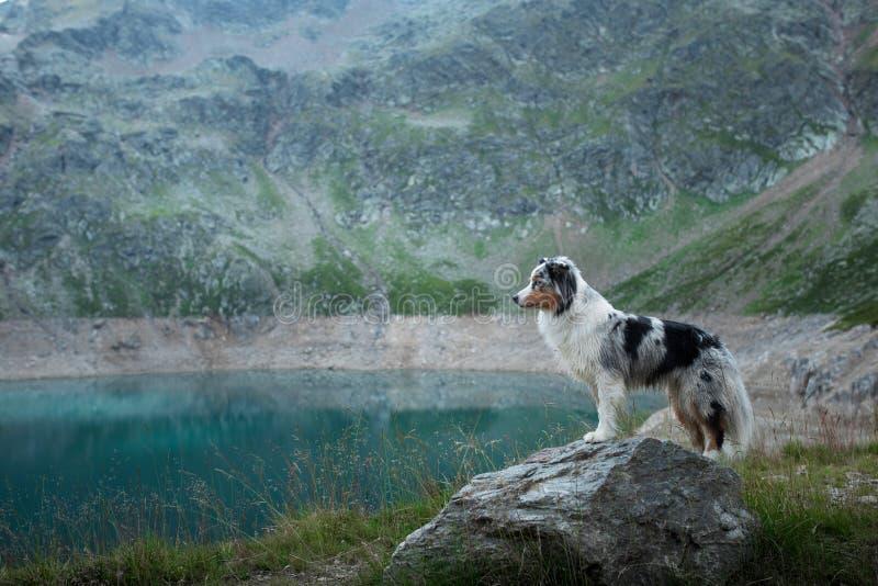 Австралийский чабан в природе озером Путешествовать с собакой в горах Приключение любимца стоковое фото rf