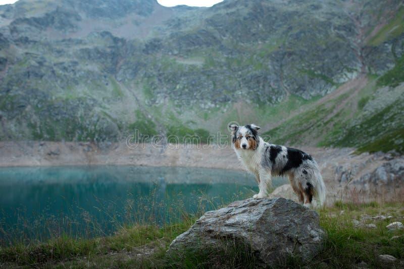 Австралийский чабан в природе озером Путешествовать с собакой в горах Приключение любимца стоковые фото