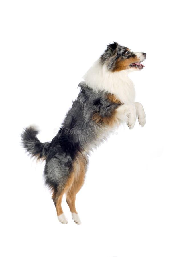 австралийский чабан собаки стоковые фото
