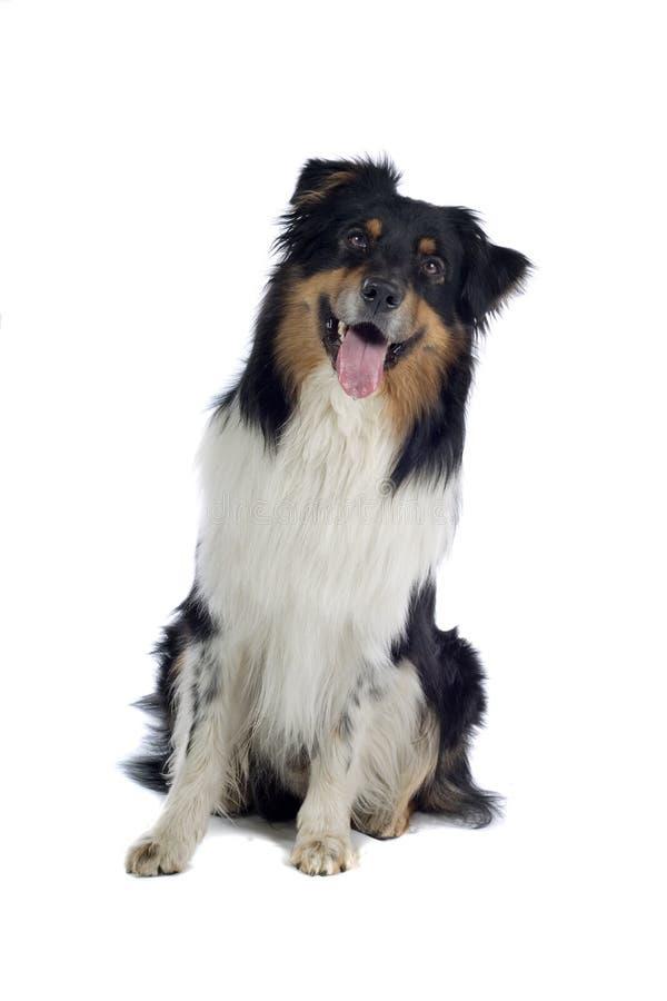 австралийский чабан собаки стоковое изображение rf