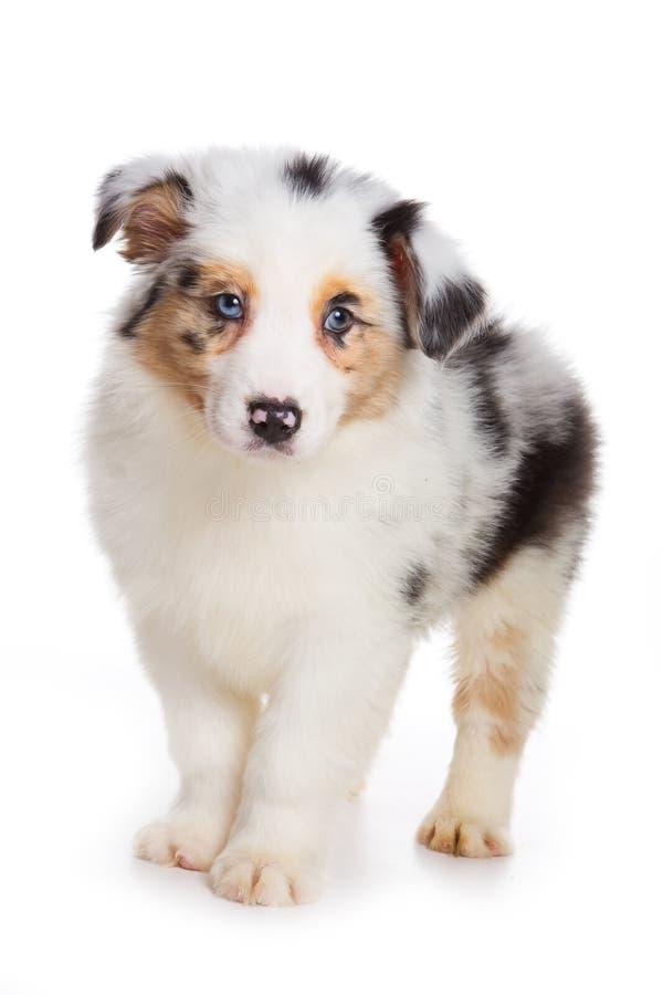 австралийский чабан щенка стоковые фотографии rf