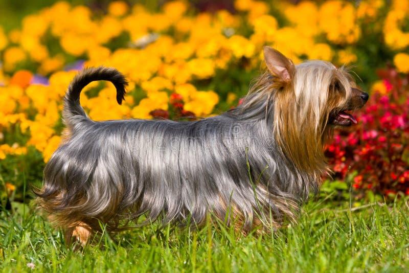 австралийский шелковистый terrier стоковое фото rf