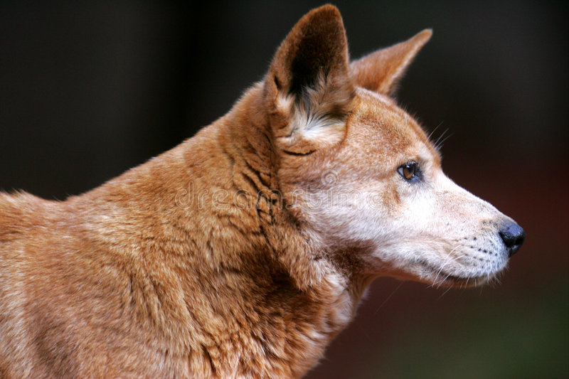 австралийский dingo стоковые изображения rf