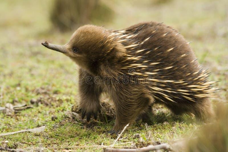 австралийский echidna стоковое изображение rf