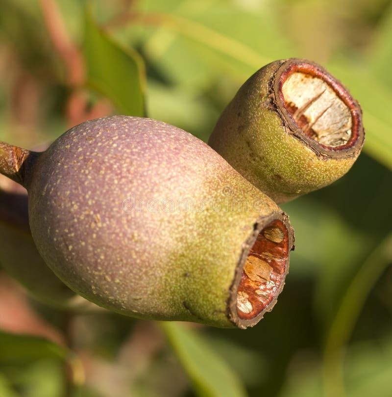 австралийское лето камеди евкалипта corymbia nuts красное стоковое фото
