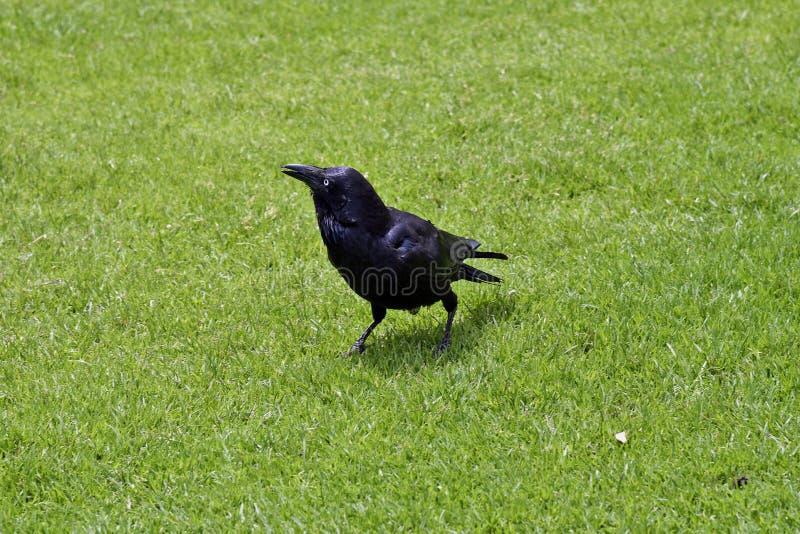 Австралия, зоология, птица стоковая фотография