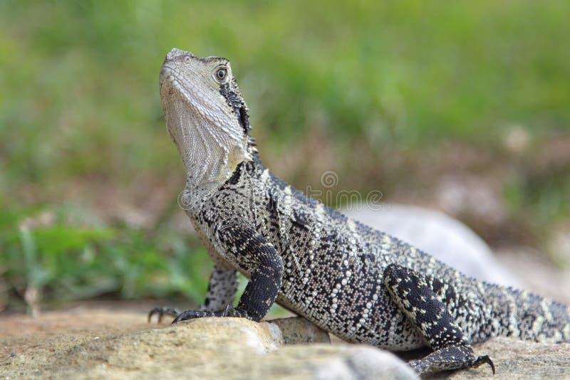 австралийская вода physignathus lesueurii дракона стоковая фотография