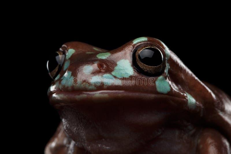 Австралийская зеленая древесная лягушка, или caerulea Litoria предпосылка черноты стоковое фото