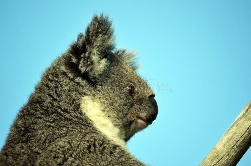 Австралийская коала сидя в эвкалипте стоковое изображение