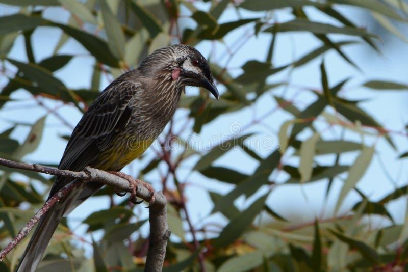 Австралийская птица wattle стоковые изображения rf