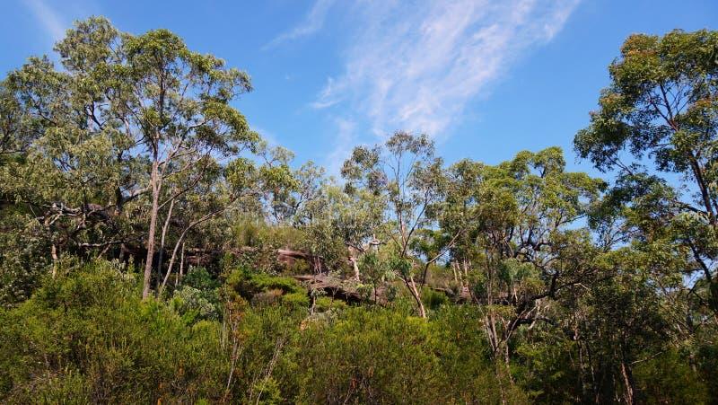 австралийская пуща евкалипта стоковое изображение